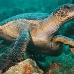 Broasca testoasa uriasa de Galapagos